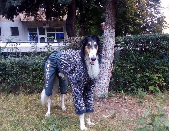 Volk, frumos si impozant in Salopeta de Ploaie de la King Maru --> https://kingmaru.ro/  #hainecaini #accesoriicaini #imbracamintecaini #caine #caini #catel #catei #dog #dogs #kingmaru