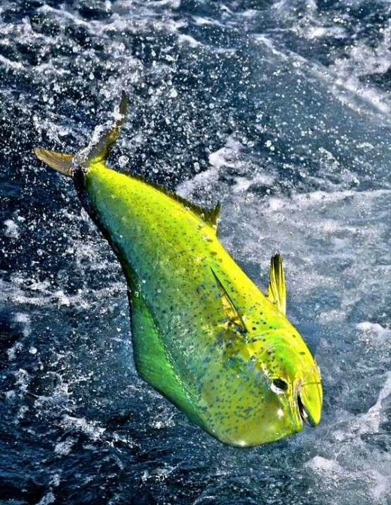 151 best off shore fishing images on pinterest for Dolphin deep sea fishing