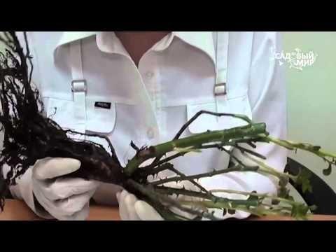 """Как сажать розы, купленные в коробке. Сайт """"Садовый мир"""" - YouTube"""