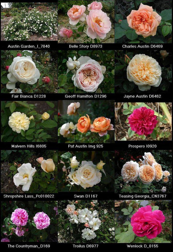 David Austin Roses, true old english garden roses.  Most smell incredible with strong perfume!