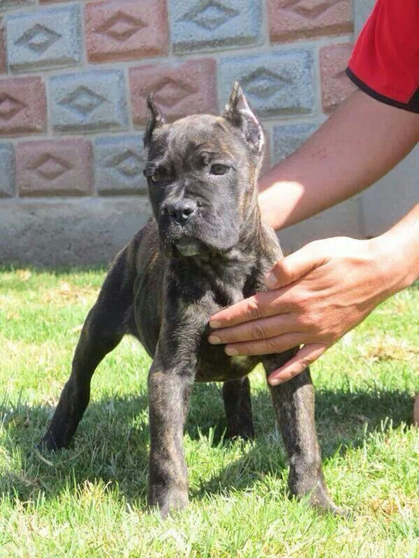 235 best 32. Cane Corso images on Pinterest | Abstract