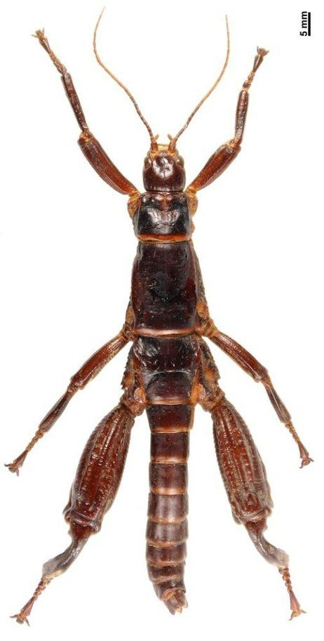 """Lord Howe Island Stick Insect, also called a """"tree lobster"""" : Howe Island walking sticks seem to pair off — an unusual insect behavior — and Jane Goodall remarked of """"how they sleep at night, in pairs, the male with three of his legs protectively over the female beside him."""""""