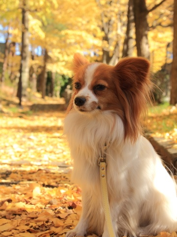 Seth Bullock the Papillon will love taking long walks through the park with his sister Maggie.