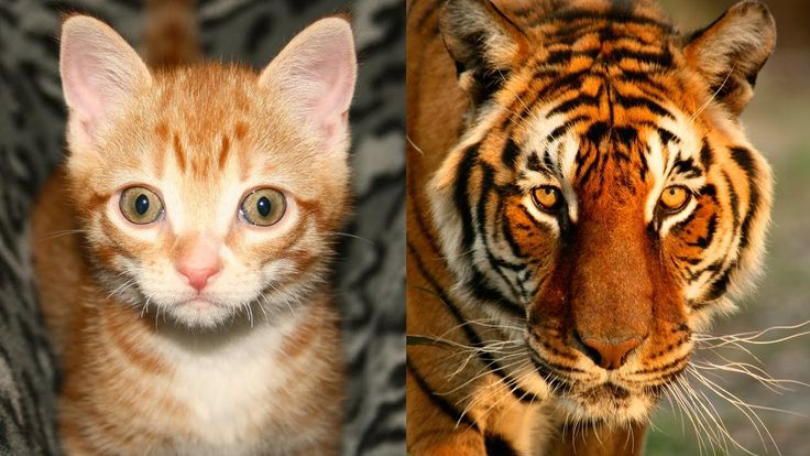 Exploring The Many Similarities Between Domestic Cats and Wild Cats