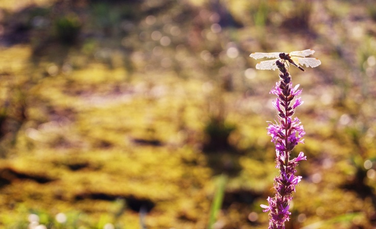 #insects #nature #grass #dragonflies #macro #summer #bokeh #природа #макро #насекомые #лето #стрекоза http://elizarova.info/gallery/macro/
