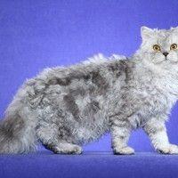Razze Feline: il gatto Selkirk Rex