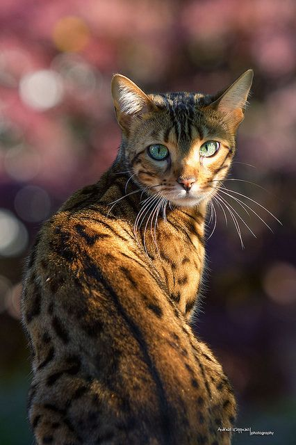 Bengal Cat. My grandparents have one of these. She's normally very skittish but on Thanksgiving I was able to pet her quite a bit.