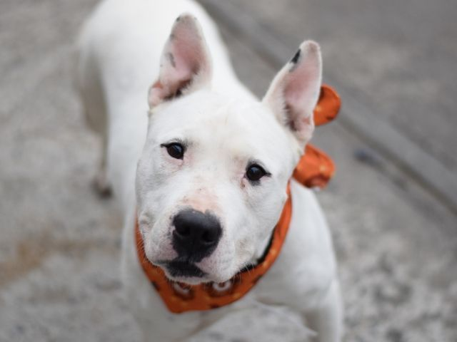 CASH - 12588 - - Brooklyn  TO BE DESTROYED 11/22/17 **ON PUBLIC LIST** -  Click for info & Current Status: http://nycdogs.urgentpodr.org/cash-12588/