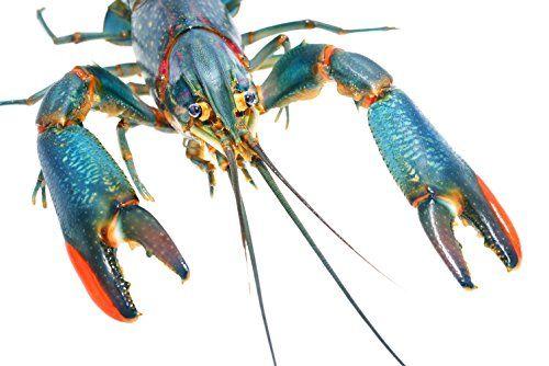 5 Australian Red Claw Crayfish 2+ Inch, Live Aquarium Crayfish For Sale Live Aquaponics http://www.amazon.com/dp/B0179Y0L5S/ref=cm_sw_r_pi_dp_4Rbvwb1B5824P