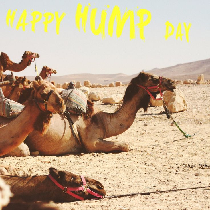 Hump Day Camels on The8App - Everyone is a social media Influencer on The8App