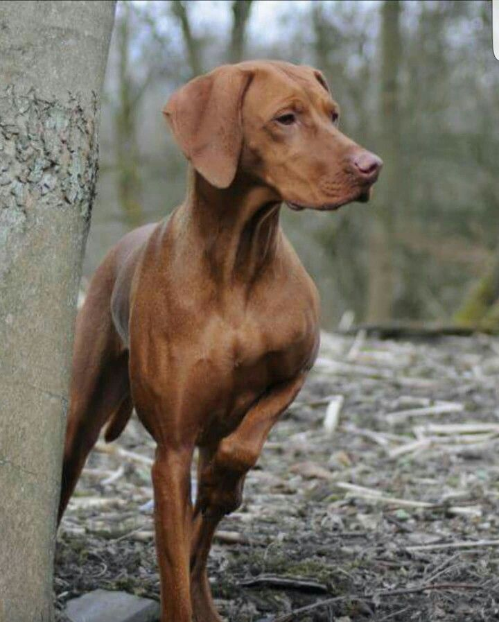 17 Best Images About The Love Of Vizsla S On Pinterest