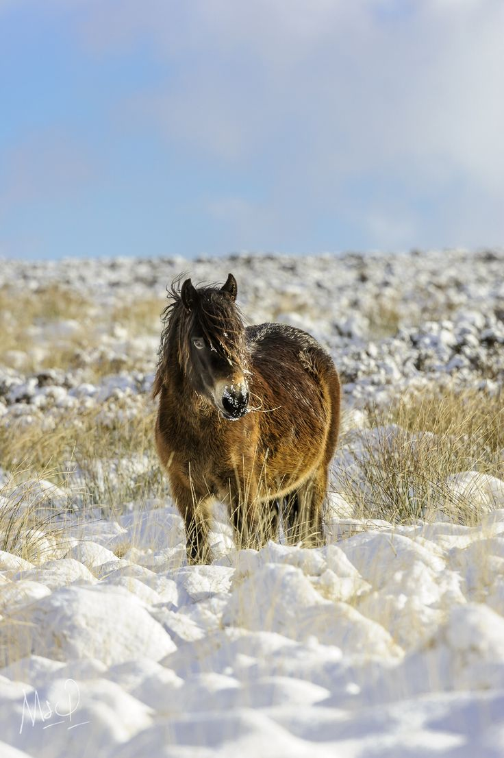 Young Exmoor pony in the winter sun covered in snow on Exmoor National Park.  Photo by Mark Stothard - http://msp.im/1SI7UL9