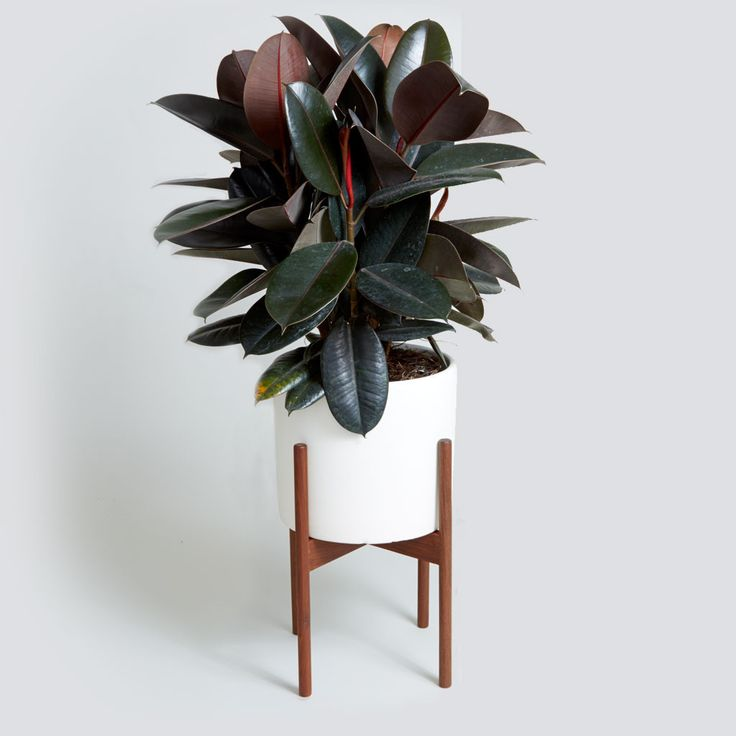 The Case Study Cylinder in Matte White with Rubber Tree - via The Sill, thesill.com