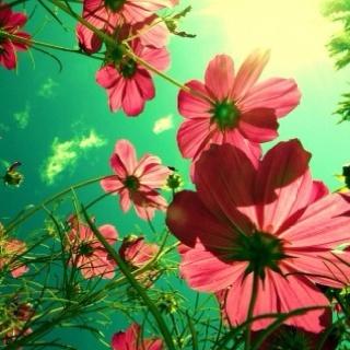 Pretty pretty bang bang: Lights, Angles, Pink Flower, Color, Cosmos, Flower Gardens, Photo, Sun, Gardens Plants