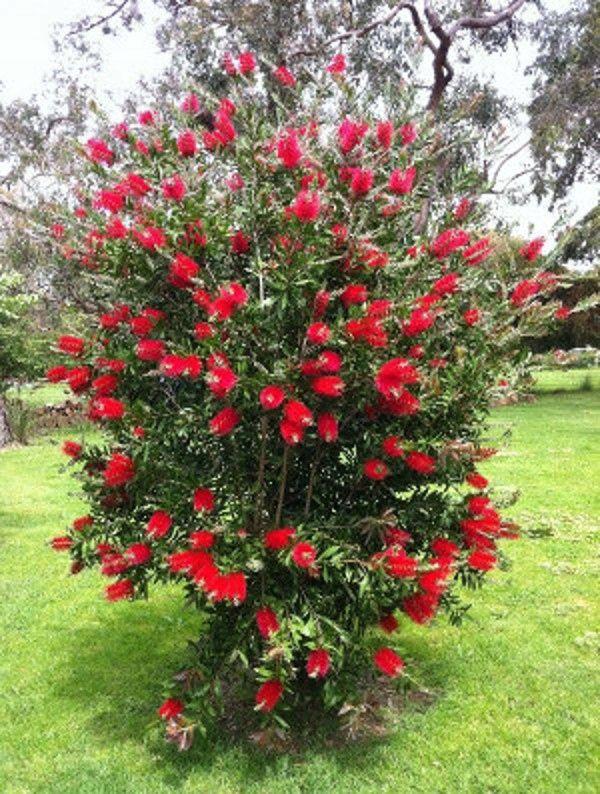 Kup Teraz Na Allegro Pl Za 12 90 Zl Kuflik Cytrynowy Sadzonki W Doniczkach 9031008612 Front Yard Plants Australian Native Garden Australian Native Plants