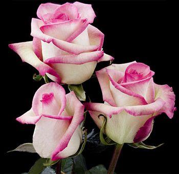 "Organic Hot Pink Roses - wholesale ""Classic Cezzane"""