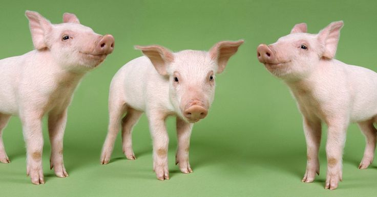 Cómo cuidar cerdos miniatura recién nacidos. Los cerdos miniatura recién nacidos pesan menos de 10 libras (4,5 kg) y son un poco más grandes que una taza de té. Un cerdo miniatura recién nacido puede quedar huérfano cuando su madre muere o cuando la madre no puede cuidar adecuadamente a sus crías. Tú puedes criar un cerdo recién nacido que se ha quedado huérfano, sin embargo, es una tarea ...