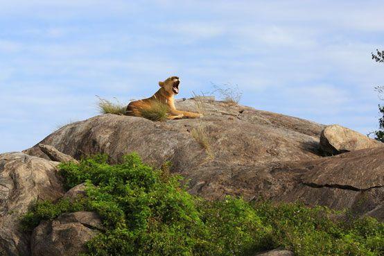 Lioness on a kopje, Serengeti, Tanzania