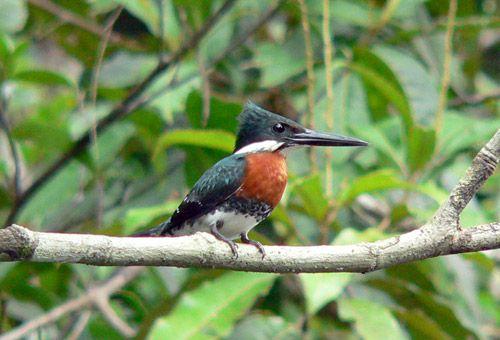 Pica-pau (Woodpecker)