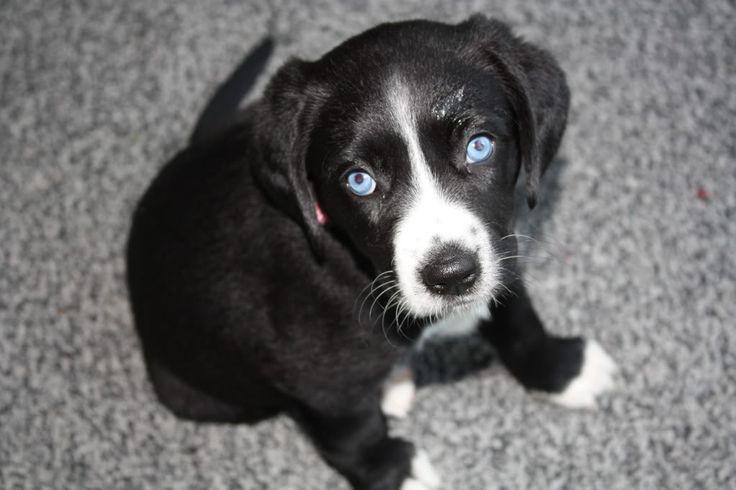 Rescuing a Lab/Beagle Mix