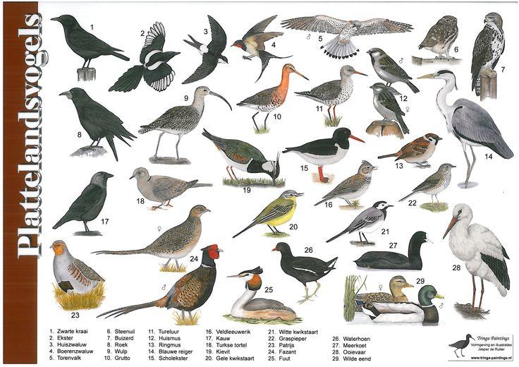 Herkenningskaart Plattelandsvogels | Landschap Noord-Holland