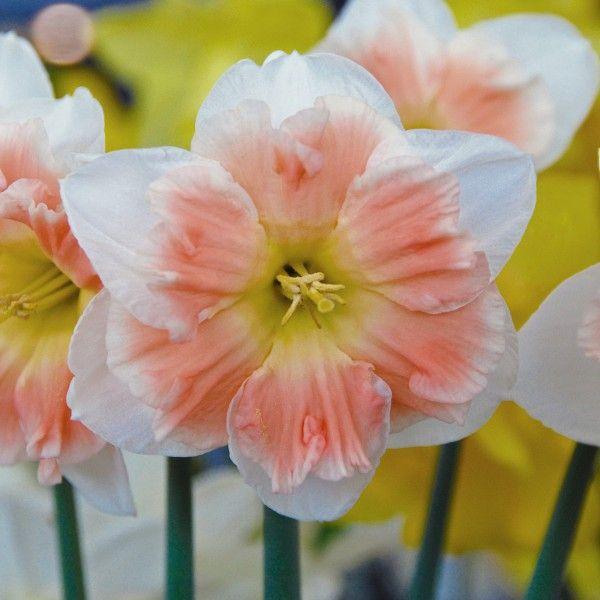 Narzisse 'Diversity' - Wir haben nicht geschummelt, gefilert, bildbearbeitet: Dies sind tatsächlich rosafarbene Narzissen! // Der Onlineshop für Blumenzwiebeln www.fluwel.de