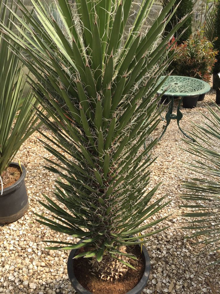 Looking for a statement piece for your garden/patio?  The super hardy Yucca filifera (Palma China) can be grown in a pot or in the ground in a free draining sunny spot. Requires very little maintenance and looks good all year round.