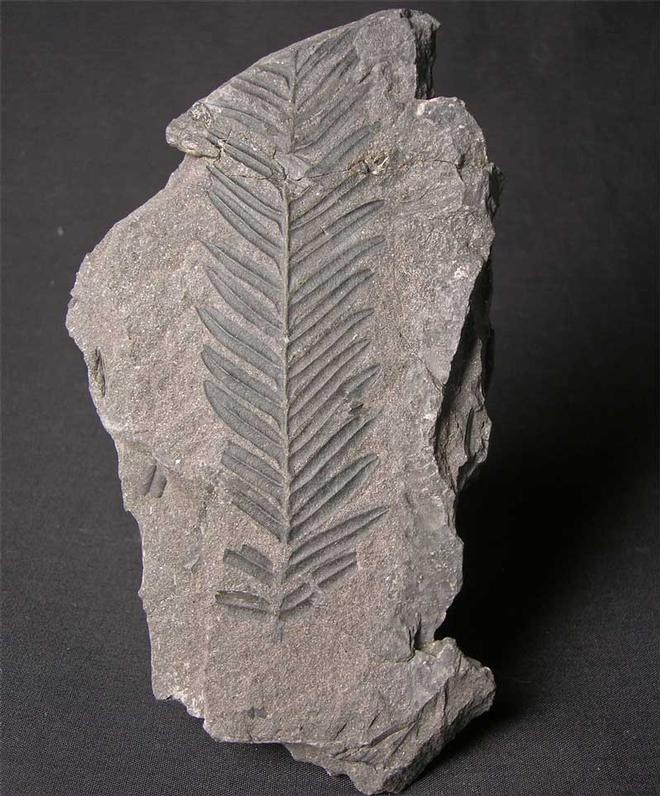 UK fossils including Alethopteris lonchitica - Fossils Direct