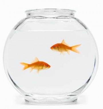 poissons - rouges - bocal