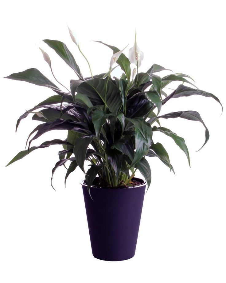Following These Easy Peace Lily Care Steps Will Help Yours Thrive, Not Just  Survive.