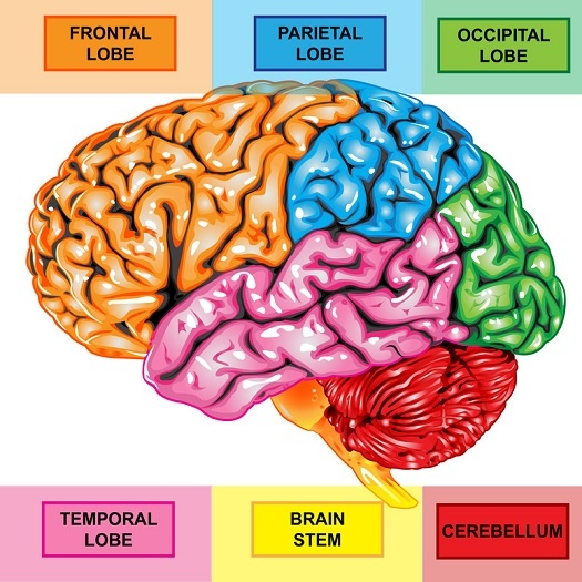 25+ best ideas about Brain lobes and functions on Pinterest ...
