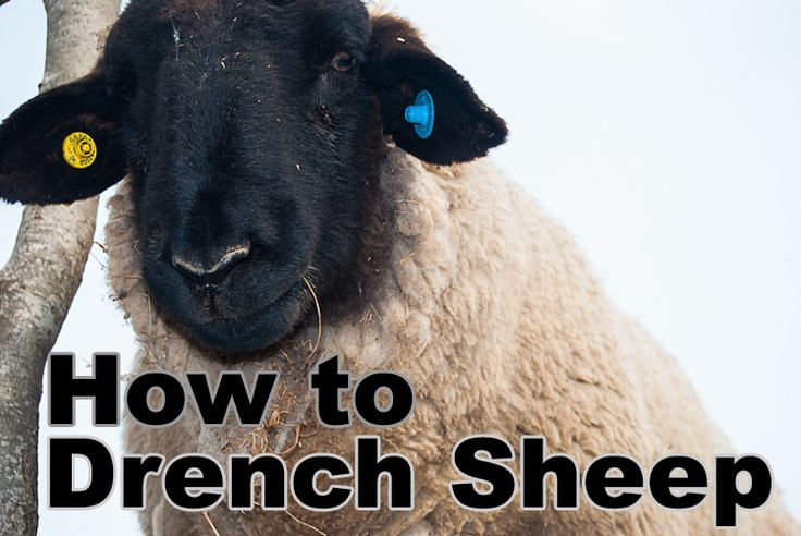 In this tutorial we will be covering the drenching (deworming) of sheep and lambs. We will cover what drenching ...
