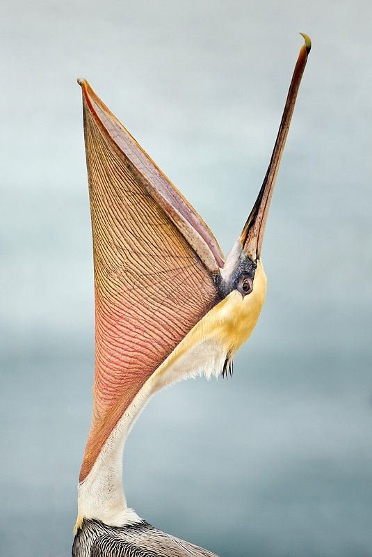 Brown Pelican throwing his head back ~ by Todd Gustafson.