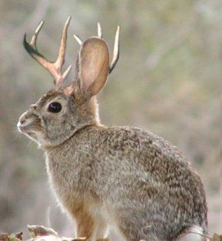 Image result for jackalope