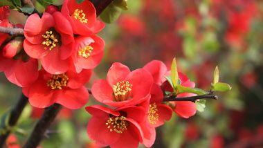 цветы, красные, весна, гранат, Природа, ветка, листочки