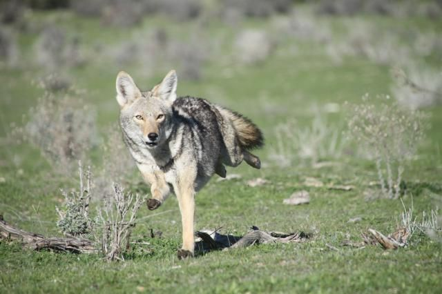 32 best Mammal Reference images on Pinterest | Maned wolf ...  32 best Mammal ...