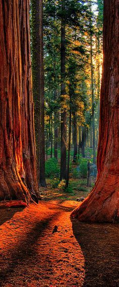 Sequoia Road   Grant Grove of giant sequoias in Kings Canyon National Park, California, USA   by Larry Gerbrandt