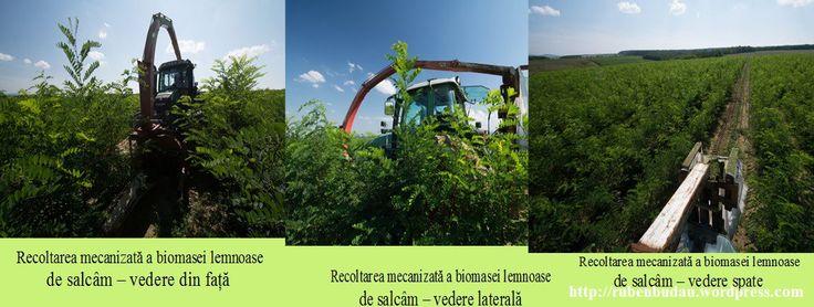 Recoltarea biomasei de salcam