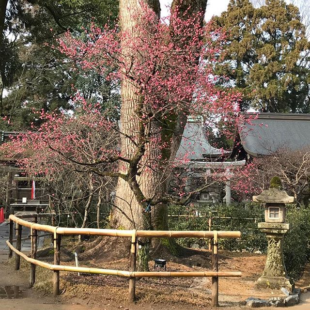 【nakaitaxi_kyoto】さんのInstagramをピンしています。 《中井タクシーの京都観光情報🚕 北野天満宮の紅梅、そろそろ見頃‼️ #Kyoto #Japan #Shrine #Temple #京都 #社寺 #紅葉 #桜》