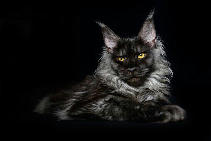 Как красиво сфотографировать черного мейн куна