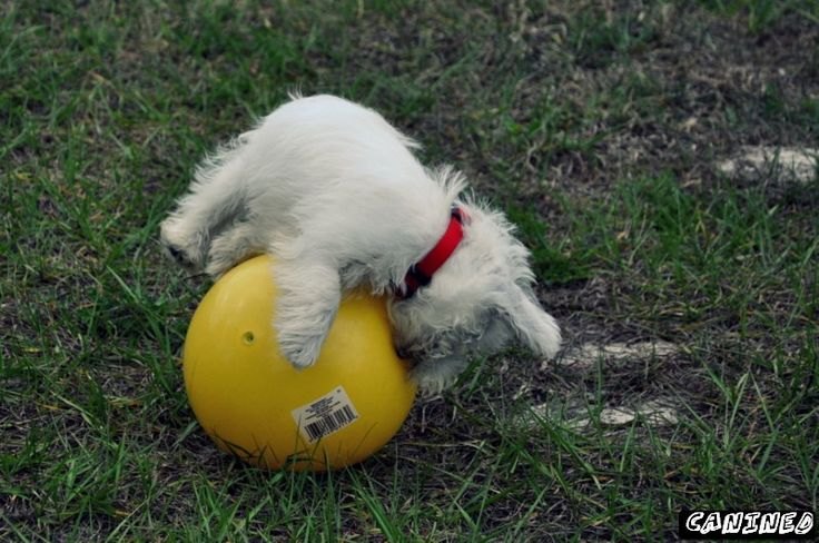 westie  puppy plays with yellow ball
