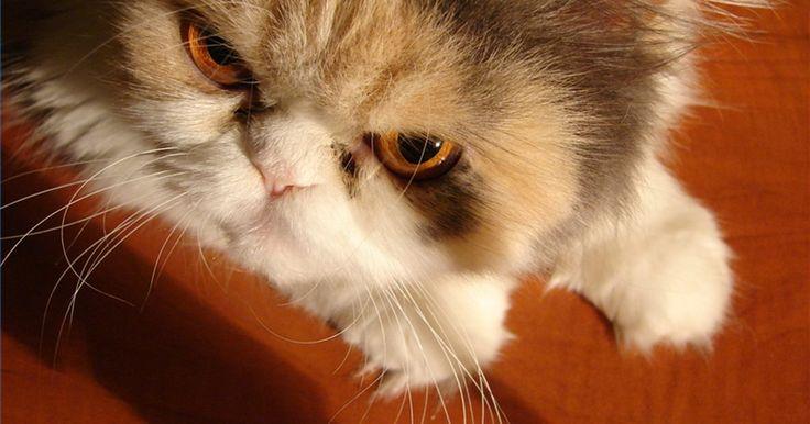 Remédios contra ansiedade em gatos. Os gatos sofrem de estresse por vários motivos. Modificações na rotina da casa, tédio, mudança de residência, doença — muitas das coisas que mantêm você acordado à noite também perturbam o gato. Os felinos ansiosos podem adoecer e tornarem-se destrutivos ou agressivos, mas felizmente há medicações e tratamentos disponíveis. Com tempo, paciência e ...