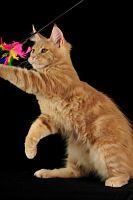 Питомник Мейн кунов. Коты, кошки и котята мейн-кун.