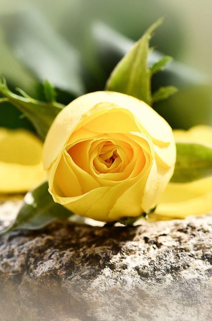 The best rose flower image, 35 best flower photos