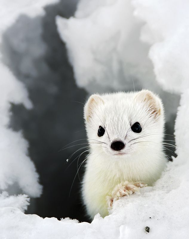 Stoat, also known as short-tailed weasel