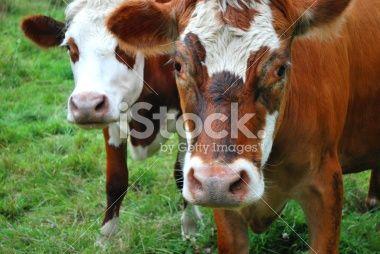 Cows in Rural Scene Royalty Free Stock Photo