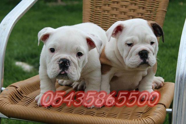 satilik ingiliz bulldog yavrulari  http://english-bulldog.yavruilani.com/ingiliz-bulldog-yavru-fiyatlari/