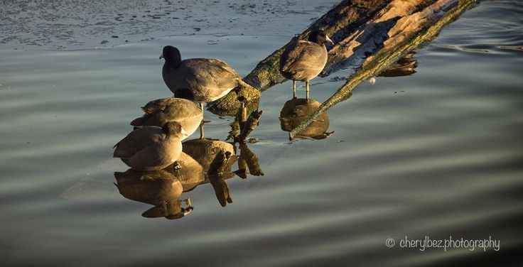 #Coots resting on a watery perch. #Winter #migration is an amazing time to be #photographing #waterfowl!