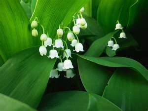 Lily of the Valley- so simple, so beautiful.