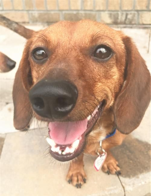 How #adorable am I ? Too adorable ! I'm also #sweet #happy #snuggler #yound #doxie boy who #loves all people and #dogs ! I know you must have me join your #family ! You get my #adoption papers filled out while I get my toys packed ! Tell them Amos sent you !